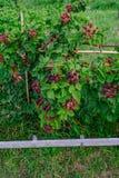 Ανάπτυξη θάμνων του Blackberry με τα μέρη των φρούτων Στοκ φωτογραφία με δικαίωμα ελεύθερης χρήσης