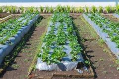 Ανάπτυξη θάμνων φραουλών στο αγρόκτημα γεωργίας, φιλικός κήπος Eco Στοκ φωτογραφίες με δικαίωμα ελεύθερης χρήσης