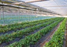 Ανάπτυξη θάμνων φραουλών στο αγρόκτημα γεωργίας Στοκ Φωτογραφία