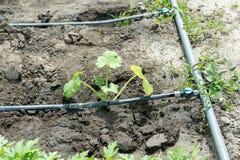 Ανάπτυξη θερινού κολοκυθιού στο φυτικό κήπο Βιο θάμνος κολοκυθιών Φύτευση των κολοκυθιών στη φυτική κηπουρική Απλή ανάπτυξη zucch Στοκ Εικόνες