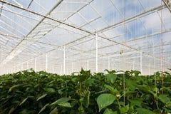 ανάπτυξη θερμοκηπίων κουδουνιών μέσα στα φυτά πιπεριών Στοκ Φωτογραφίες