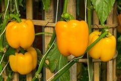 Ανάπτυξη κίτρινων οργανικών πιπεριών κουδουνιών ή γλυκών πιπεριών Στοκ εικόνα με δικαίωμα ελεύθερης χρήσης