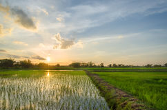 Ανάπτυξη και ηλιοβασίλεμα ρυζιού Στοκ εικόνες με δικαίωμα ελεύθερης χρήσης