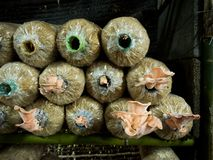 Ανάπτυξη καλλιέργειας μανιταριών στο αγρόκτημα Στοκ Εικόνες