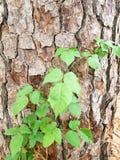 Ανάπτυξη κισσών δηλητήριων σε έναν φλοιό της βόρειας Καρολίνας δέντρων πεύκων Στοκ Φωτογραφία