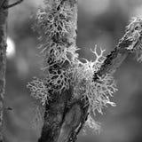 Ανάπτυξη λειχήνων ταράνδων στο δέντρο στοκ εικόνα