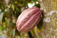 Ανάπτυξη λοβών κακάου από το δέντρο στην Κούβα στοκ εικόνα με δικαίωμα ελεύθερης χρήσης