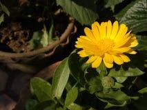 Ανάπτυξη λουλουδιών Calendula στον κήπο το χειμώνα στοκ φωτογραφία