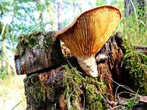 Ανάπτυξη μανιταριών σε έναν αποσυντεθειμένο κορμό δέντρων Πολωνία Opole σε ένα προαστιακό δάσος στοκ εικόνα με δικαίωμα ελεύθερης χρήσης