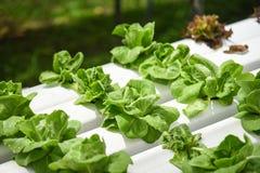 Ανάπτυξη μαρουλιού Butterhead αγροτικές εγκαταστάσεις συστημάτων θερμοκηπίων στις φυτικές υδροπονικές στο νερό χωρίς εδαφολογική  στοκ εικόνα