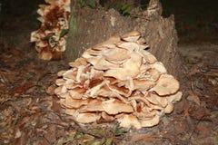 Ανάπτυξη μυκήτων ραφιών σε ένα κολόβωμα δέντρων στοκ εικόνες με δικαίωμα ελεύθερης χρήσης