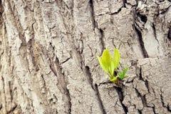 Ανάπτυξη νεαρών βλαστών από ένα παλαιό δέντρο Νέα από την παλαιά έννοια Στοκ φωτογραφία με δικαίωμα ελεύθερης χρήσης