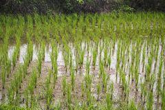 Ανάπτυξη νερού λάσπης τομέων ρυζιού Στοκ εικόνα με δικαίωμα ελεύθερης χρήσης