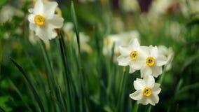 Ανάπτυξη λουλουδιών άνοιξη Daffodils και μυρωδιά φιλμ μικρού μήκους