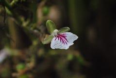 Ανάπτυξη λουλουδιών καρδάμωμων σε έναν κήπο καρυκευμάτων Στοκ Εικόνες