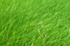 Ανάπτυξη λουλουδιών μεταξύ της πράσινης χλόης Στοκ Φωτογραφίες