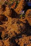 Ανάπτυξη λουλουδιών στο λίπασμα αλόγων Στοκ Φωτογραφίες