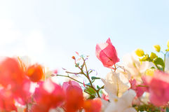 Ανάπτυξη λουλουδιών στο θάμνο στον κήπο Στοκ Φωτογραφία