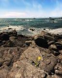 Ανάπτυξη λουλουδιών Daffodil από το βράχο που αγνοεί το Ειρηνικό Ωκεανό Στοκ φωτογραφία με δικαίωμα ελεύθερης χρήσης