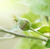 Ανάπτυξη οφθαλμών λουλουδιών σε ένα δέντρο μηλιάς με το φωτεινό φως του ήλιου Στοκ φωτογραφία με δικαίωμα ελεύθερης χρήσης