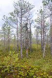 Ανάπτυξη πεύκων στο έλος Στοκ εικόνα με δικαίωμα ελεύθερης χρήσης