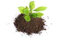 Ανάπτυξη πράσινων εγκαταστάσεων στο χώμα που απομονώνεται σε ένα λευκό Στοκ εικόνα με δικαίωμα ελεύθερης χρήσης