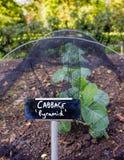 Ανάπτυξη «πυραμίδα» λάχανων λαχανικό κήπων Στοκ φωτογραφία με δικαίωμα ελεύθερης χρήσης