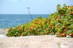 Ανάπτυξη ροδαλών ισχίων στην παραλία Στοκ φωτογραφία με δικαίωμα ελεύθερης χρήσης