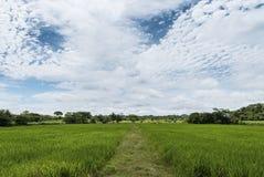 Ανάπτυξη ρυζιού σε μια νεφελώδη ημέρα με έναν μπλε ουρανό Στοκ φωτογραφία με δικαίωμα ελεύθερης χρήσης