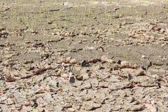 Ανάπτυξη ρυζιού στον τομέα ξηρασίας Στοκ φωτογραφία με δικαίωμα ελεύθερης χρήσης