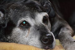 Ανάπτυξη σκυλιών παλαιά από κοινού Στοκ Φωτογραφία