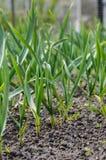 Ανάπτυξη σκόρδου στο χώμα Στοκ Φωτογραφία