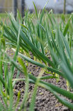 Ανάπτυξη σκόρδου στο χώμα Στοκ φωτογραφία με δικαίωμα ελεύθερης χρήσης