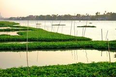 Ανάπτυξη σπανακιού νερού στο νερό ποταμού στοκ εικόνα