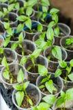 Ανάπτυξη σποροφύτων πιπεριών Στοκ Φωτογραφίες
