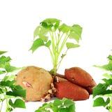 ανάπτυξη της γλυκιάς πατάτας με τους βλαστούς στο άσπρο υπόβαθρο Στοκ Εικόνες