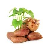 ανάπτυξη της γλυκιάς πατάτας με τους βλαστούς στο άσπρο υπόβαθρο Στοκ φωτογραφία με δικαίωμα ελεύθερης χρήσης