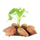 ανάπτυξη της γλυκιάς πατάτας με τους βλαστούς στο άσπρο υπόβαθρο Στοκ Φωτογραφίες