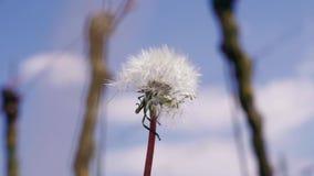 Ανάπτυξη της πικραλίδας blowball ενάντια στο μπλε ουρανό στον αμπελώνα, ημέρα φιλμ μικρού μήκους