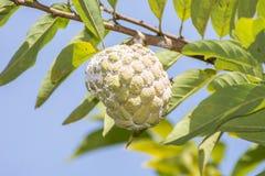 Ανάπτυξη της Apple κρέμας σε ένα δέντρο Στοκ Εικόνα