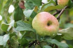 Ανάπτυξη της Apple σε έναν κλάδο στον κήπο Στοκ Φωτογραφία