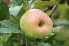 Ανάπτυξη της Apple σε έναν κλάδο στον κήπο Στοκ φωτογραφία με δικαίωμα ελεύθερης χρήσης