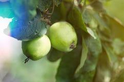 Ανάπτυξη της Apple στο δέντρο στον κήπο Μήλα σε έναν κλάδο Στοκ Φωτογραφίες
