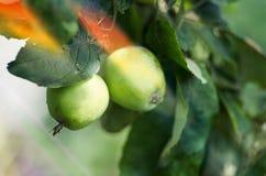 Ανάπτυξη της Apple στο δέντρο στον κήπο Μήλα σε έναν κλάδο Στοκ Εικόνες