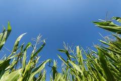 Ανάπτυξη τομέων καλαμποκιού ή αραβόσιτου στο μπλε ουρανό Στοκ φωτογραφία με δικαίωμα ελεύθερης χρήσης