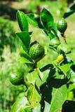 Ανάπτυξη του πράσινου λεμονιού σε έναν θάμνο στοκ φωτογραφίες με δικαίωμα ελεύθερης χρήσης