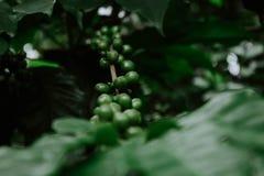 Ανάπτυξη του πράσινου σταφυλιού σε ένα δάσος στοκ φωτογραφία