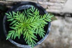 Ανάπτυξη του πράσινου φυτού φύλλων σε ένα δοχείο, marigold Στοκ φωτογραφία με δικαίωμα ελεύθερης χρήσης