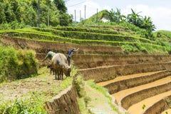 Ανάπτυξη του ρυζιού στη MU Cang Chai, γεν Bai, Βιετνάμ Στοκ Φωτογραφίες