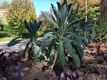Ανάπτυξη του Kale στον κήπο Στοκ Εικόνα